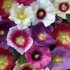 Hollyhocks Alcea Single Mixed