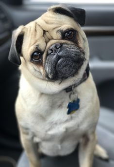 Get wonderful tips on pugs. They are on call for you on our web site. Cute Baby Pugs, Cute Pug Puppies, Cute Dogs, Cute Funny Animals, Cute Baby Animals, Animals Dog, Teacup Pug, Pug Pictures, Pug Pics