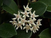 Anexo:Especies de Hoya - Wikipedia, la enciclopedia libre