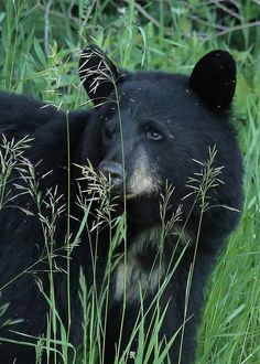 ☀Black Bear...#32 by Blackcat Photography on Flickr*