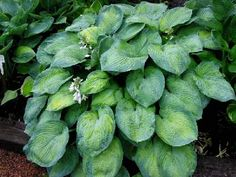 """Foxfire Shadow Dancer Hosta - Leaves chartreuse in the center with a blue-green, 1-2"""" wide margin. Leaf blade broadly ovate, wavy, heavily corrugated, and thick-substanced; thick bloom on leaf unde..."""
