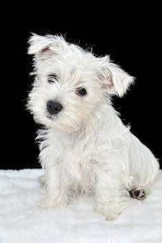 5af3358ce420091727459c3077d2fb7c--westie-puppies-terrier-puppies.jpg (236×354)