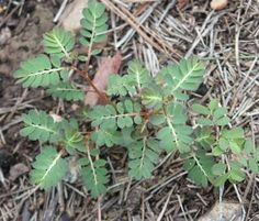 Mimosa Weed – Control | Walter Reeves: The Georgia Gardener.     I hate this weed