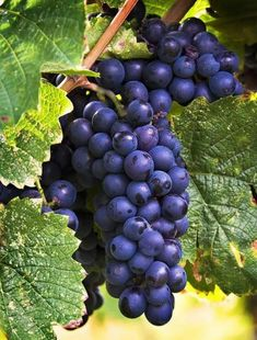 How to Grow Grapes at Home: The best time plant grape plants is in the late winter and early spring. Grape plants should be planted after the last frost in your area. L'art Du Fruit, Fruit Plants, Fruit Garden, Fruit Art, Fruit And Veg, Fruit Trees, Fruits And Vegetables, Fresh Fruit, Photo Fruit