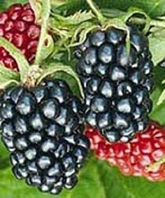 blackberry seeds for sale