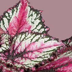 Magic Colours Begonia's staat voor sterke bladbegonia's die met hun kleur en uitstraling passen in elk interieur. (SALSA)