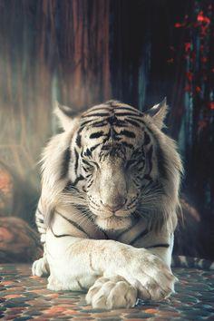 Amazing wildlife. White tiger photo