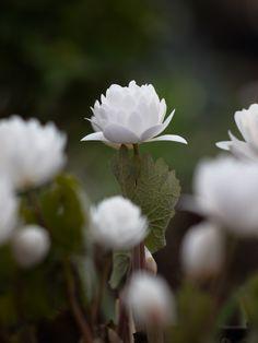 Blodört I Sanguinaria canadensis 'Multiplex' I Zetas Trädgård Nature Plants, Flowers Nature, Garden Plants, Landscaping With Rocks, Garden Landscaping, Outdoor Plants, Outdoor Gardens, Beautiful Gardens, Beautiful Flowers