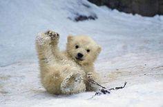 Sliding Polar Bear ,Oppsss,by Zap.