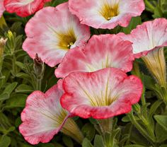 Petunia 'Sweetunia® Strawberry Morning' -  This variety has a low and trailing habit that is suitable as a groundcover or spilling from a container.
