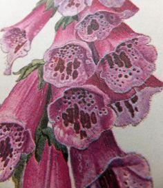 Foxglove Digitalis. Foxglove Family. Pink Flower. Vintage