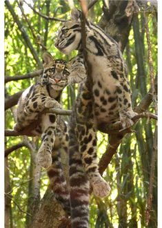 The Clouded Leopard is just one of the big cats that is an endangered species. All of the big cats still in the wild are endangered. Leopard Cub, Clouded Leopard, Leopard Spots, Snow Leopard, Big Cats, Cool Cats, Beautiful Cats, Animals Beautiful, Baby Animals