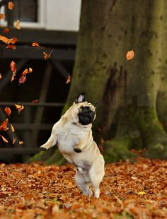 Dancing pug in fall leaves