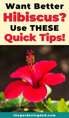 Do you want your Hibiscus to bloom bigger, longer, and more colorful? This article will provide quick tips that take under 5 minutes! You'll learn how to better care for indoor, potted, and even outdoor hibiscus plants! Hibiscus Tree Care, Growing Hibiscus, Hibiscus Garden, Hibiscus Plant, Peonies Garden, Hibiscus Flowers, Exotic Flowers, Tropical Flowers, Hawaiian Flowers