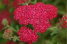Common Yarrow 'Petra' (Achillea millefolium) 'Petra'