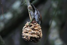 Homemade bird feeder - pine cone with peanut butter & birdseed. Philadelphia Zoo, Homemade Bird Feeders, Wild Birds, Christmas Ornaments, Holiday Decor, Pine Cone, Animals, Peanut Butter, Craft Ideas