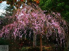 Weeping Apricot - beautiful  in Winter!