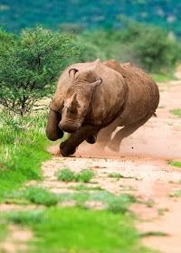 Ack! Run! Uhmm, did I read something some where about making a quick side step to confuse them... Rhino, Africa