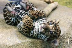 jaguar cub :3