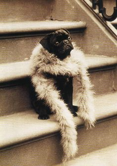"Vintage Pug- this actually is not ""Vintage"" - it is from the book ""Pug Shots"""