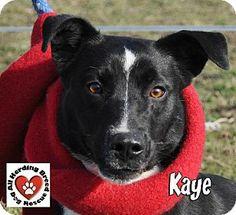 Joliet, IL - Border Collie/Terrier (Unknown Type, Medium) Mix. Meet Kaye a Dog for Adoption.