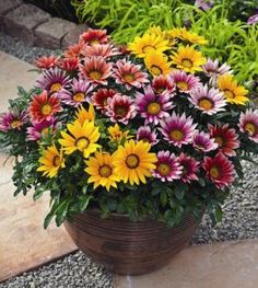 Egrow Colorful Chrysanthemum Seeds Rare Flower Seeds Garden Potted Plants is fashionable and cheap, come to NewChic to see more trendy Egrow Colorful Chrysanthemum Seeds Rare Flower Seeds Garden Potted Plants online Mobile. Annual Flowers, Rare Flowers, Beautiful Flowers, Flower Vases, Flower Pots, Pot Jardin, Flower Landscape, Watercolor Landscape, Landscape Paintings