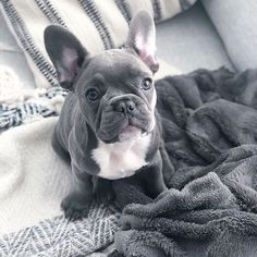 'design french bulldog' by Baby Animals Super Cute, Super Cute Puppies, Cute Little Puppies, Cute Little Animals, Cute Dogs And Puppies, Baby Dogs, Pug Puppies, Doggies, Baby Animals Pictures