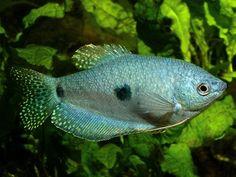 Blue Gourami Fish Pictures