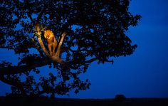 Lion in the spotlight by Joel Sartore