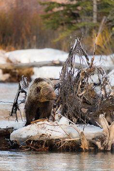 Grizzly bear along the Buffalo Fork River, Grand Teton National Park, Wyoming
