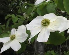 PACIFIC DOGWOOD (Western Flowering Dogwood)