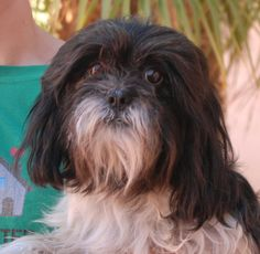Sophie pleads for a very gentle and stable home for life.  She is a kind, tender-hearted Shih-Tzu, 5 years of age and spayed, good with dogs and older kids, housetrained, and debuting for adoption today at Nevada SPCA (www.nevadaspca.org).  Sophie needed us due to her previous owners' financial hardship.