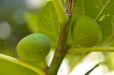 Fig health benefits include colon cancer prevention and alkalizing the body