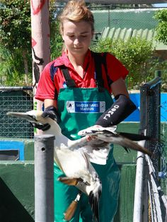 Volunteers help rehabilitated Penguins and many other seabirds at SANCCOB in Cape Town, South Africa.