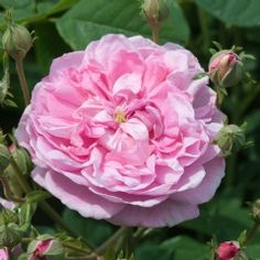 Ispahan   David Austin Recommended Variety    (Pompon des Princes). Exquisite blooms of lovely clear warm pink that does not fade. These open to form a loosely reflexed flower. Free-flowering; always one of the first of the Summer Flowering Old Roses to bloom and the last to finish. A very fine Damask fragrance. It lasts well in water when cut and used for flower arrangements. 5 x 4 ft.
