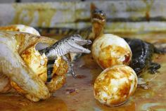 Baby Crocodiles Hatching From Eggs