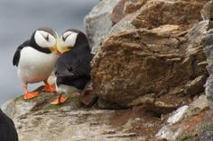Bird Watching in the Russian Arctic Puffin Kolyuchun Island Russia