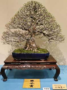 Chinese quince, Pseudocydonia sinensis. 2015 89th Kokufu Bonsai Exhibition award winner