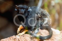 Qdiz Stock Photos | Black monkey tamarin,  #animal #ape #black #cute #handed #jocko #life #macaque #mammal #marmoset #monkey #monkeyish #nature #primate #red #simian #stone #tamarin #wild #wildlife #zoo