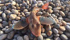 Gallinella, proprietà nutritive, pesca, uso in cucina e ricette.