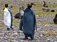 All-Black Penguin Discovered - Photographed by Andrew Evans of National Geographic on the island of South Georgia, near Antarctica.