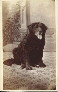 c.1860s cdv of large Landseer/Newfoundland-like dog sitting in photographer's studio.  Photo by: Mrs. Dr. J. Hitchcock; Canton, N.Y. From bendale collection