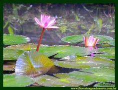 Amazônia Ninfeia Nenufar vermelha Nymphaea rubra NYMPHAEACEAE Plantas Aquáticas Flor flower Floresta Água do Norte Celcoimbra Site Santarém Amazonia Amazônica Amazon DEF Marketing Turismo
