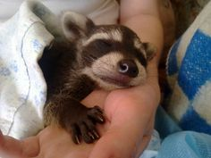 a baby-racoon
