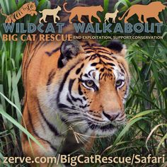 Wildcat Walkabout: June 21st, Father's Day, we will be hosting an open house type event. Guests will be permitted to roam a designated tour path from 12PM - 3PM. Tickets will be $10 per person available for purchase through Zerve. All ages are welcome. 500 attendees max.  There will be food trucks, a raffle and other activities. A portion of the proceeds from the event will go towards big cat conservation.