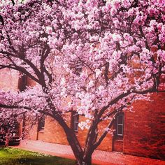 The cherry blossom tree outside the Music Building is looking beautiful this week