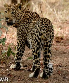 Leopards of the Sabi Sands #sabisands #inyatisafari #safarivacation #wildlifephotography #AmazingAfrica