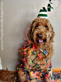 Top 10 Pet pins - Pin - Spencer the Goldendoodle Christmas Animals, Christmas Dog, Christmas Lights, Merry Christmas, Christmas 2015, Christmas Cards, Goldendoodles, Labradoodles, Goldendoodle Art