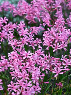 Nerine bowdenii has been ordered. I've resisted these in the past because pink is such an odd color to bloom so late in the fall/early winter - but I think they'll fit in here with the very late flowering Shizostylis (Schizostylis coccinea 'November Cheer') in similar colors.