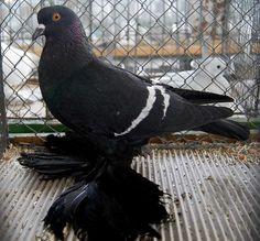 Saxon Field pigeon. January 8 & 9, 2011 Zwönitz, Saxony, Germany